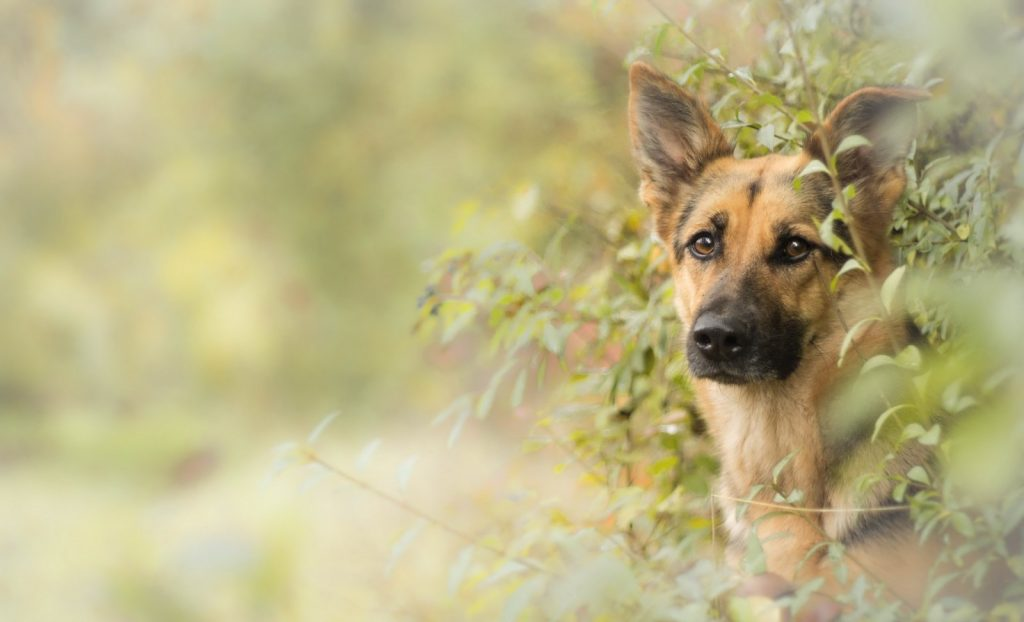 german-shepherd14