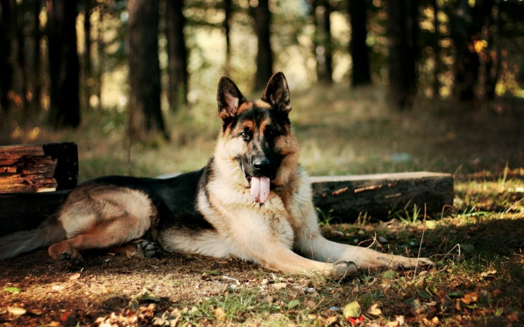 german-shepherd17