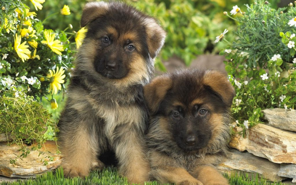 german-shepherd18