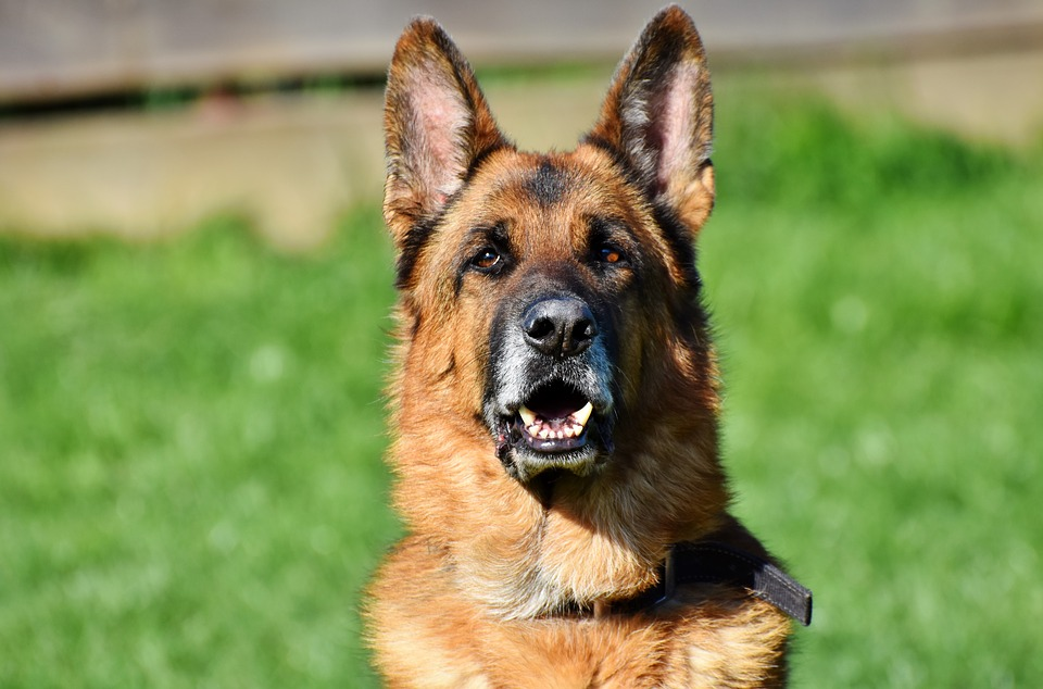 german-shepherd2