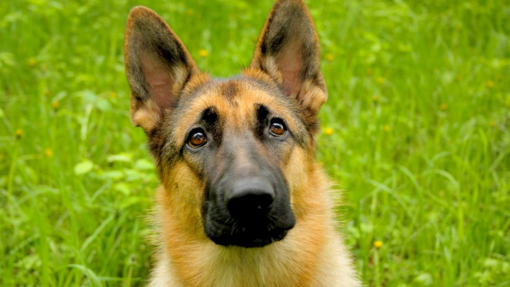 german-shepherd6