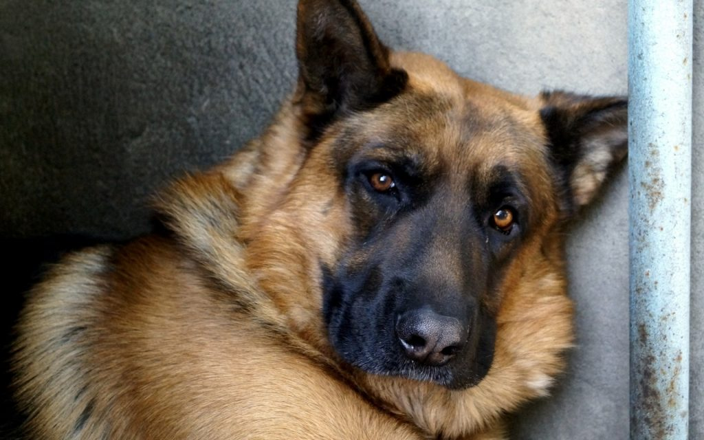german-shepherd8