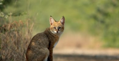 jungle cat 7