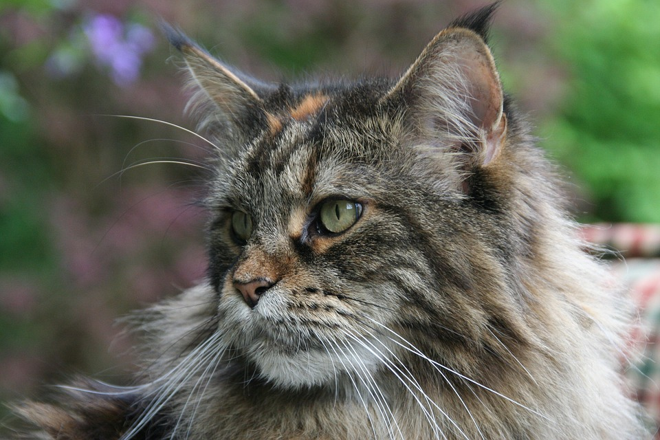 maine-coon6