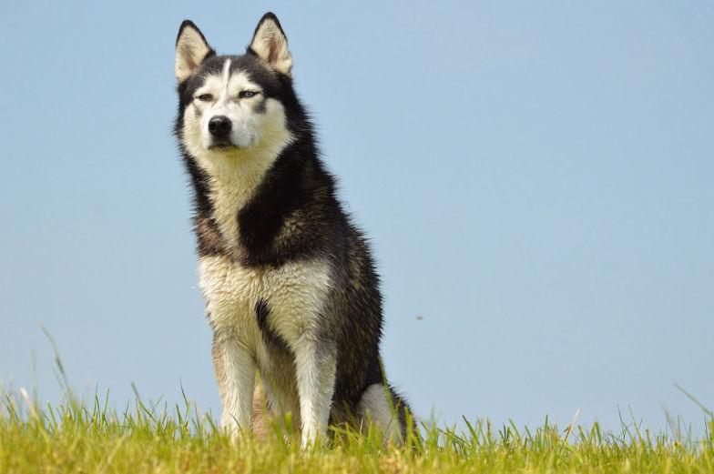 siberian-husky5