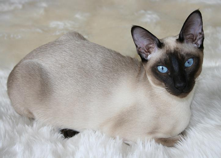 tonkines cat