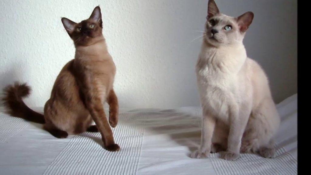 tonkines cat 2