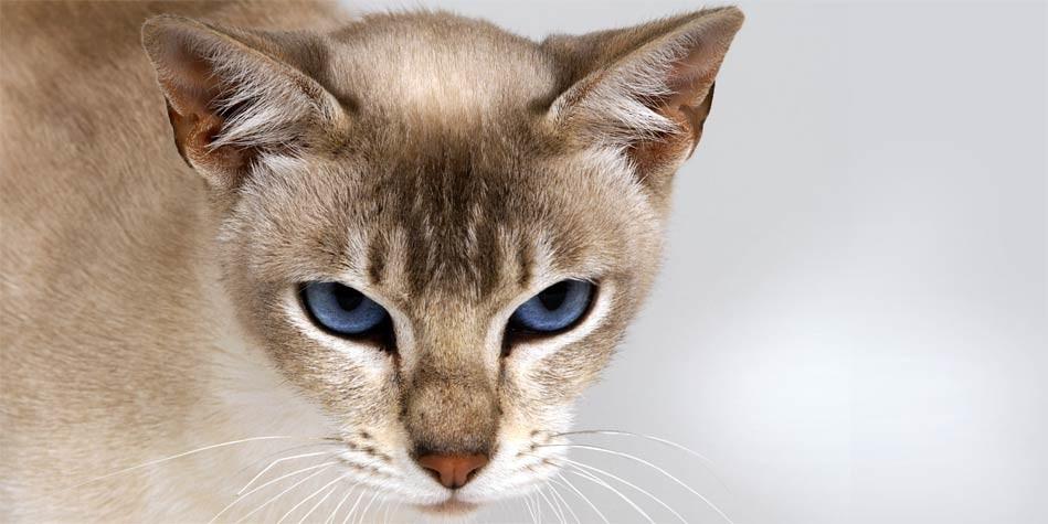 tonkines cat 7