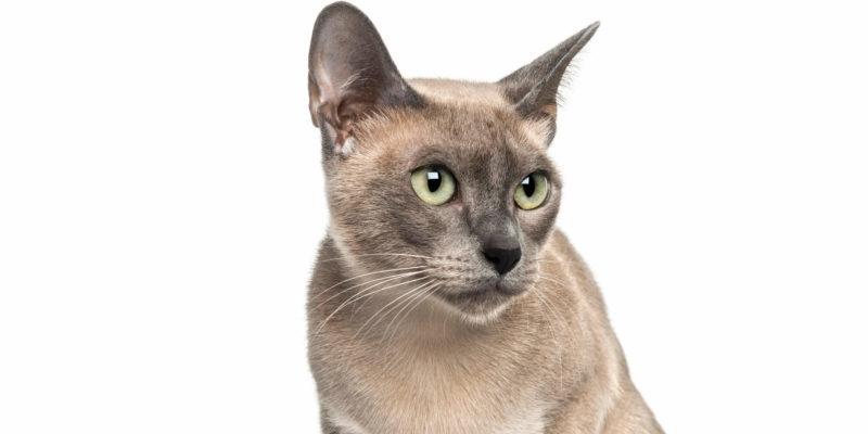 tonkines cat 8
