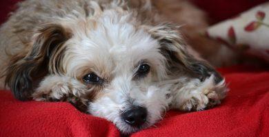 Chinese Crested Dog1