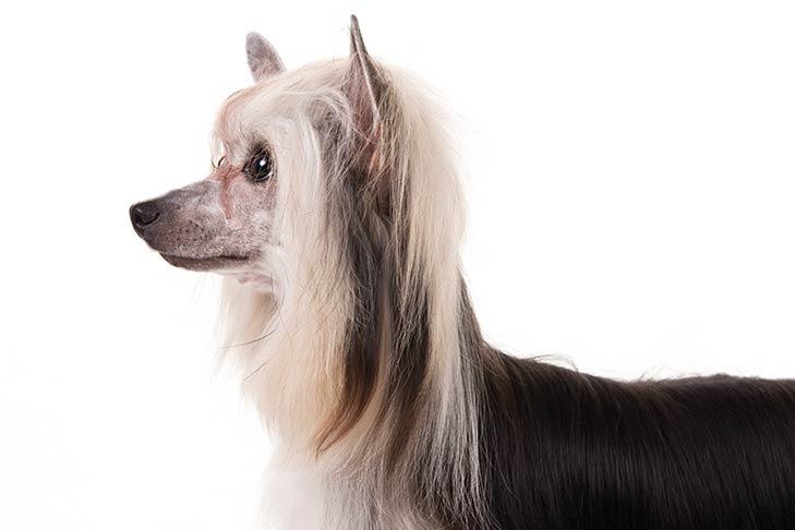 Chinese Crested Dog10