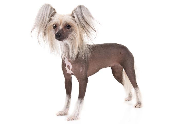 Chinese Crested Dog11