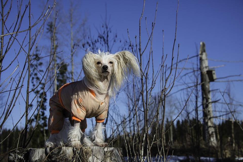 Chinese Crested Dog3