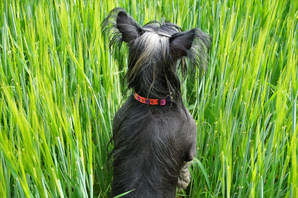 Chinese Crested Dog5