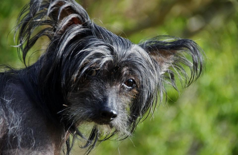 Chinese Crested Dog6