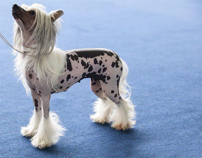Chinese Crested Dog8