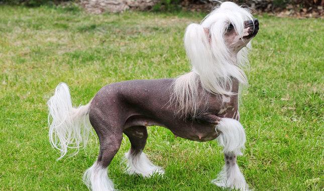 Chinese Crested Dog9
