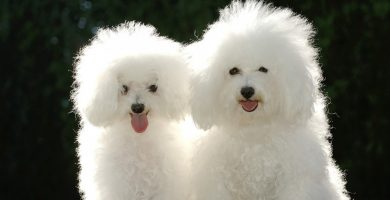 poodle toy8