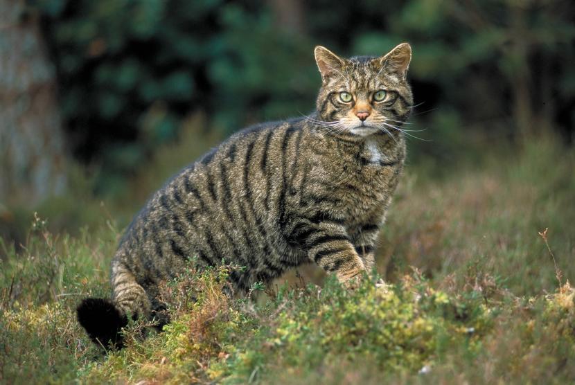wildcat10