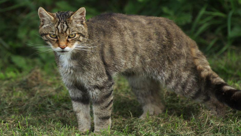 wildcat11