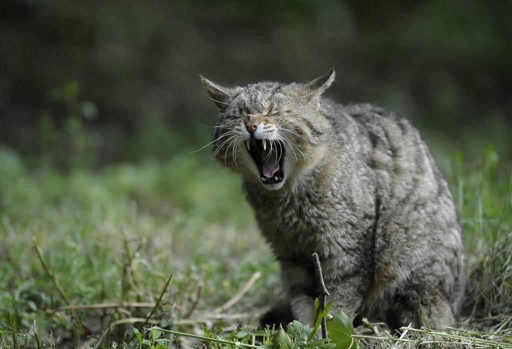 wildcat13