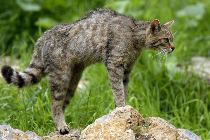 wildcat14