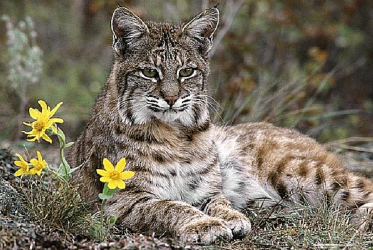 wildcat15