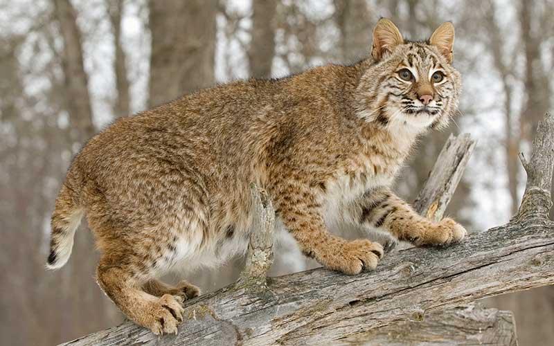 wildcat4