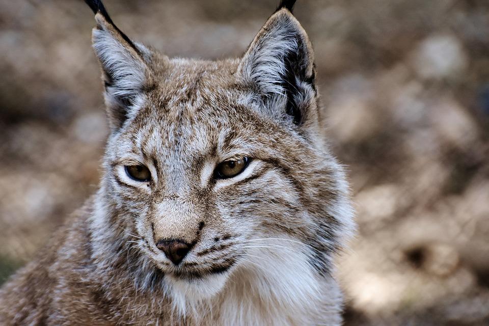 wildcat6