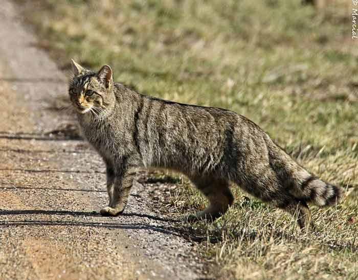 wildcat7