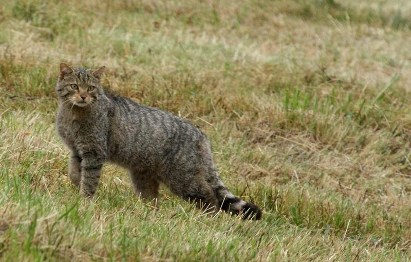 wildcat8