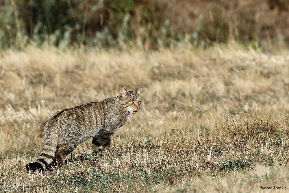 wildcat9