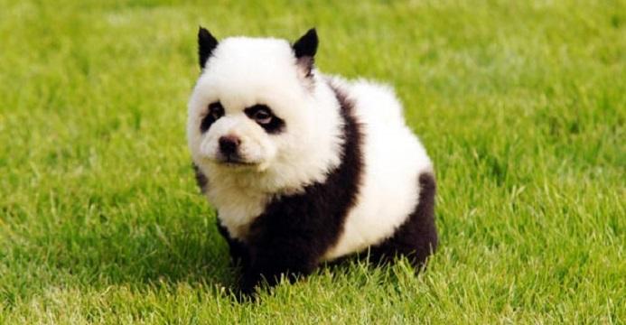 Chow Chow Panda2