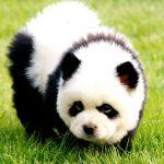 Chow Chow Panda3