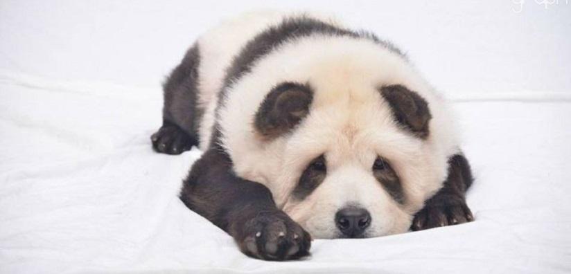 Chow Chow Panda4
