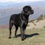 italian cane corso5