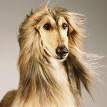 afghan hound 3